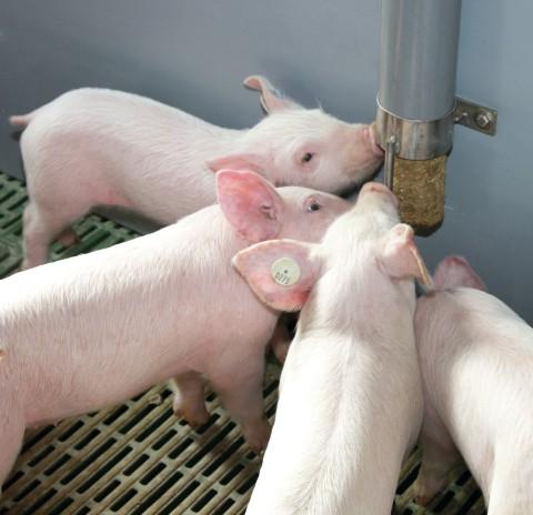 Schwitzen Schweine